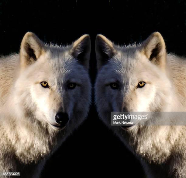 White Wolf Mirror Image