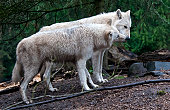White wolves (Canis lupus) nuzzling