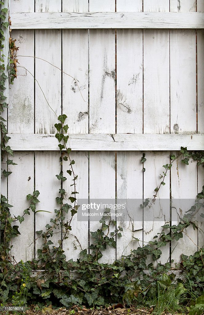 White wood fence with Ivy