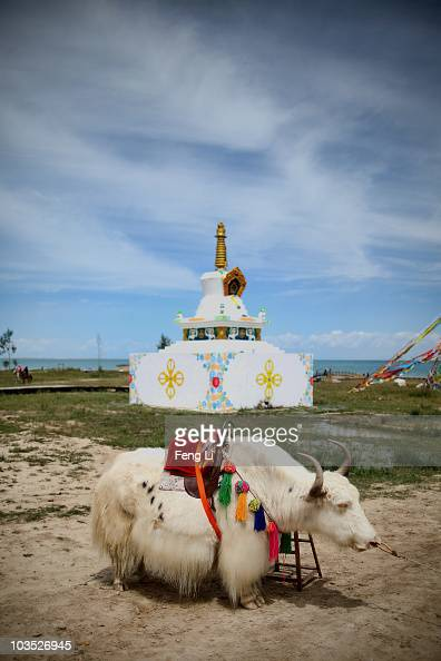 A white yak stands at the bank of Qinghai Lake on August 21 2010 in Xining of Qinghai Province China Qinghai means green lake in Chinese and this is...
