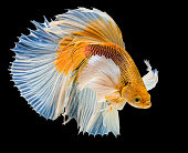 white & yellow siamese fighting fish on black background