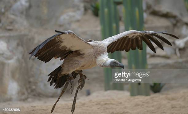 Whitebacked vulture flies during a special press rehearsal at Kalkberg openair theatre on June 20 2014 in Bad Segeberg Germany