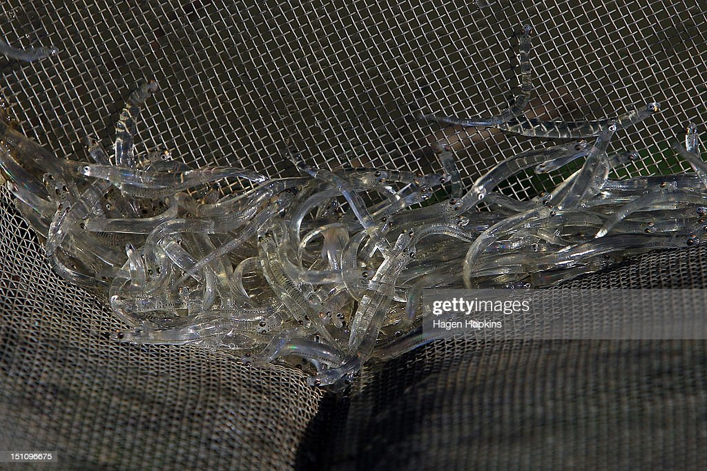 Whitebait lie in a net after being caught in Mokau River on September 1 2012 in Mokau New Zealand New Zealand whitebait numbers are now in decline...