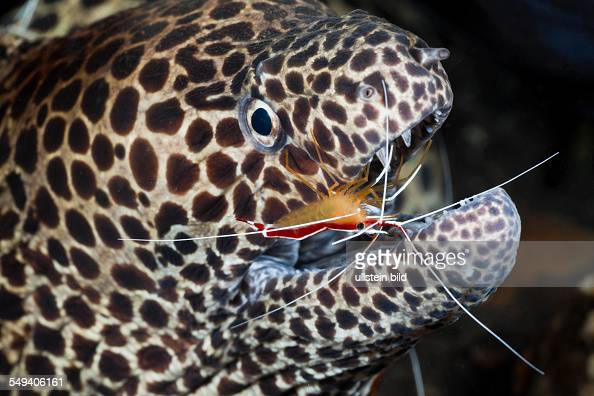 White-banded Cleaner Shrimp cleaning Honeycomb Moray, Lysmata ...