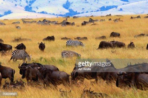 White-bearded wildebeest (Connochaetes taurinus), Kenya : Stock Photo