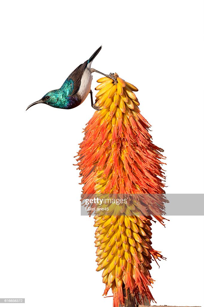 White-bellied sunbird,  Cinnyris talatala : Stock Photo