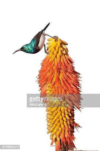 White-bellied sunbird,  Cinnyris talatala : Stock Photo