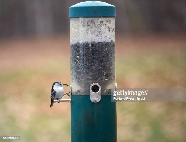 A whitebreasted nuthatch grabs a seed from a feeder at Audubon's Gilsland Farm