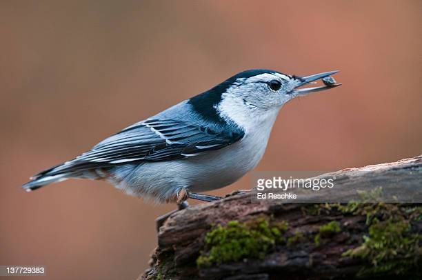 White-breasted Nuthatch with Sunflower Seed