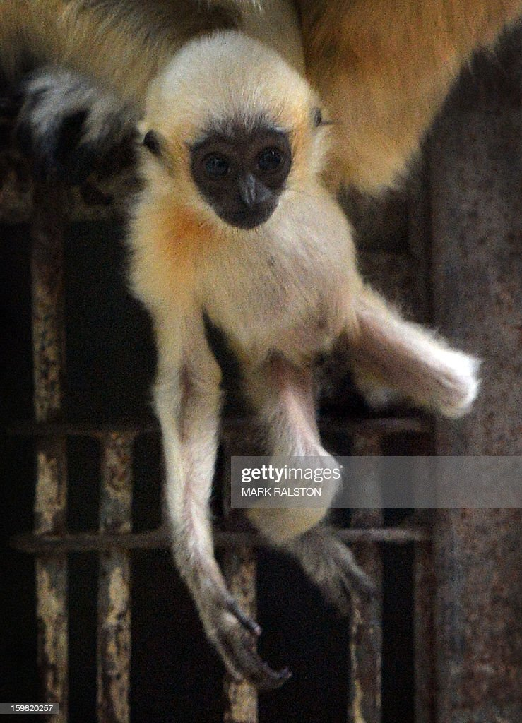 A White-Cheeked Gibbon baby looks on at the Beijing Zoo on January 21, 2013. The zoo grounds were originally a Ming Dynasty imperial palace and finally opened to the public in 1908. The zoo's history states that during the WWII, most of the zoo's animals died of starvation with only 13 monkeys and one old emu surviving the war. AFP PHOTO/Mark RALSTON