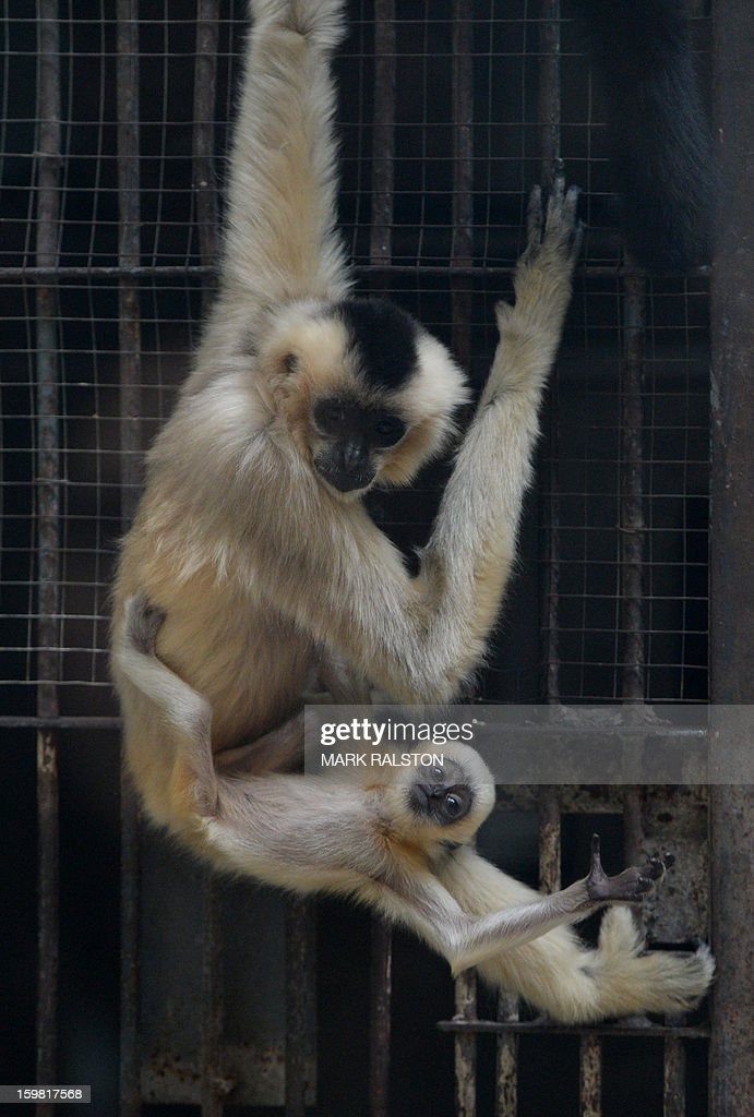 A White-Cheeked Gibbon mother and her baby climb at the Beijing Zoo on January 21, 2013. The zoo grounds were originally a Ming Dynasty imperial palace and finally opened to the public in 1908. The zoo's history states that during the WWII, most of the zoo's animals died of starvation with only 13 monkeys and one old emu surviving the war. AFP PHOTO/Mark RALSTON