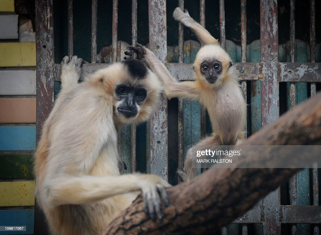 A White-Cheeked Gibbon mother sits and her baby (R) look on at the Beijing Zoo on January 21, 2013. The zoo grounds were originally a Ming Dynasty imperial palace and finally opened to the public in 1908. The zoo's history states that during the WWII, most of the zoo's animals died of starvation with only 13 monkeys and one old emu surviving the war. AFP PHOTO/Mark RALSTON