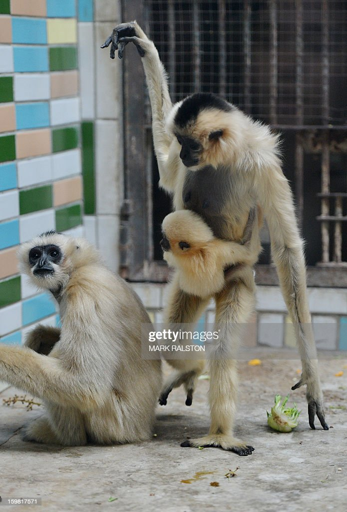 A White-Cheeked Gibbon mother (R) walks with her baby at the Beijing Zoo on January 21, 2013. The zoo grounds were originally a Ming Dynasty imperial palace and finally opened to the public in 1908. The zoo's history states that during the WWII, most of the zoo's animals died of starvation with only 13 monkeys and one old emu surviving the war. AFP PHOTO/Mark RALSTON
