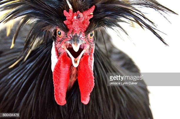 White-crested black Polish rooster