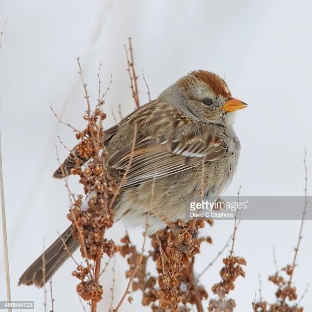 White-crown sparrow in snow storm