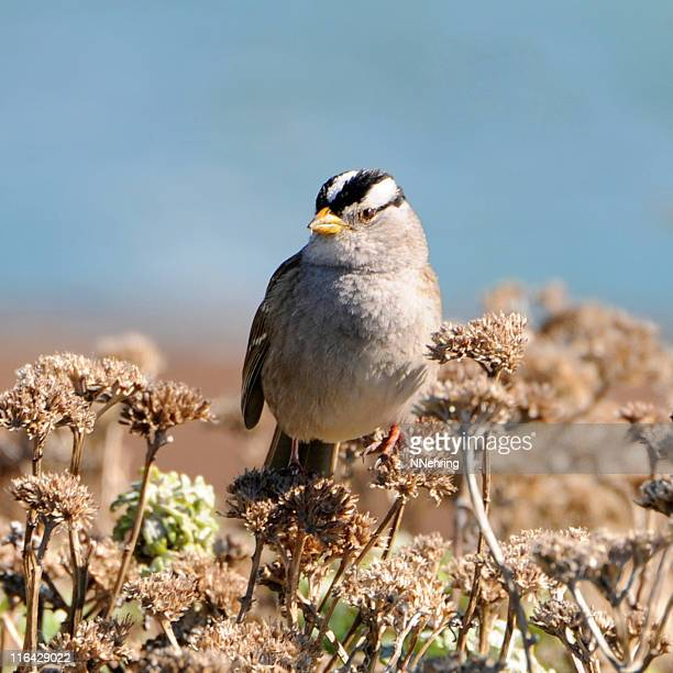white-crowned sparrow, Zonotrichia leucophrys, perched on buckwheat