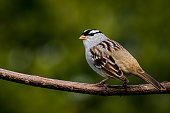 White-crowned Sparrow - Zonotrichia leucophrys, perched on a branch, bokeh of cedar trees in the background.