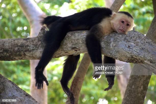 White-faced capuchin, costa rica