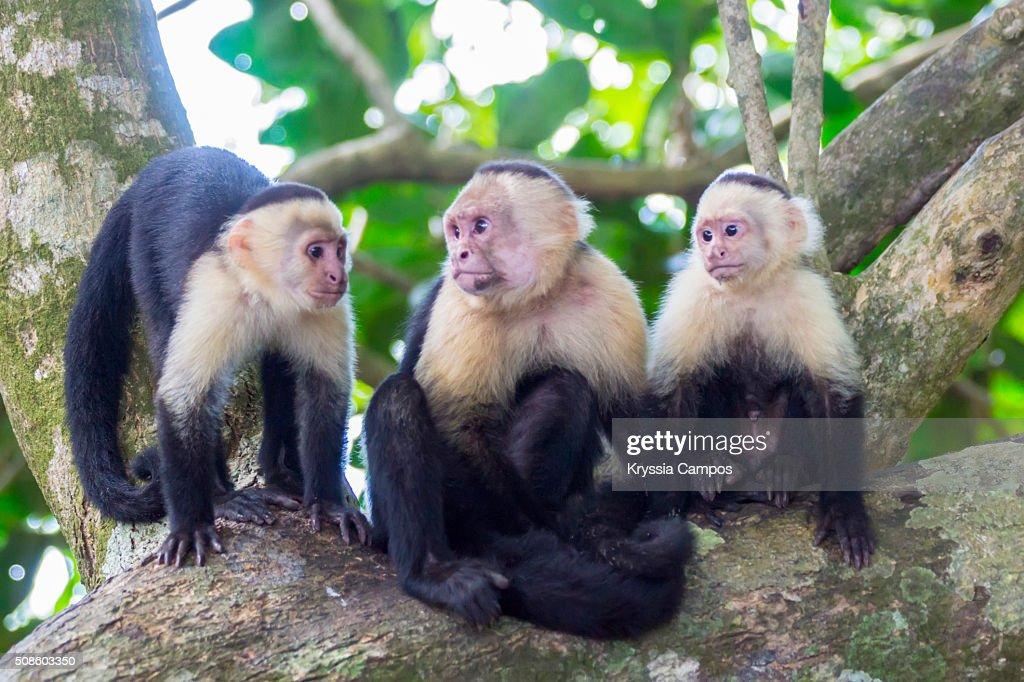 White-faced Capuchin Monkey Family : Stock Photo