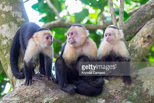 White-faced Capuchin Monkey Family : Stock Photo