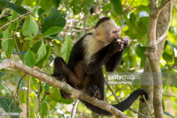 A whitefaced capuchin monkey feeding on a fruit in the rainforest of the Manuel Antonio National Park located at the Pacific coast of Costa Rica
