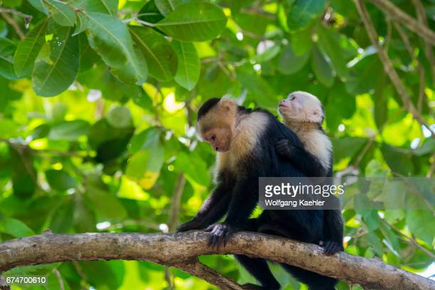 A whitefaced capuchin monkey mother with baby sitting on a branch in the rainforest of the Manuel Antonio National Park located at the Pacific coast...