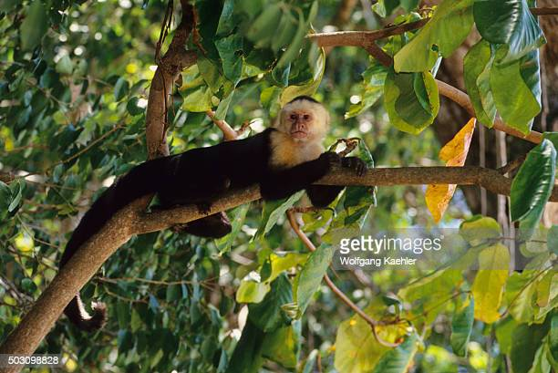 A whitefaced capuchin monkey on a tree in the rainforest of the Manuel Antonio National Park located at the Pacific coast of Costa Rica