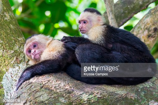 White-faced Capuchin Monkeys: mother and son : Stock Photo