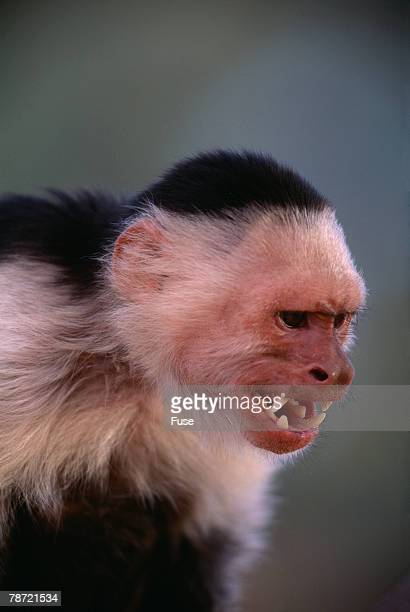 White-Faced Capuchin Snarling
