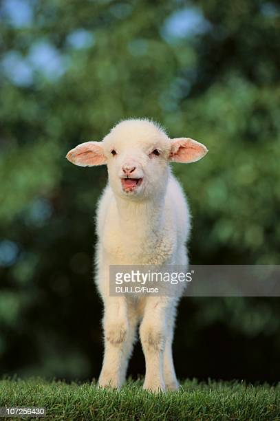 Whitefaced Lamb in the Pasture