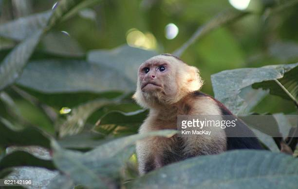 White-faced Monkey peeking from the tree branches