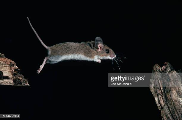 White-Footed Mouse Jumping From Branch to Branch