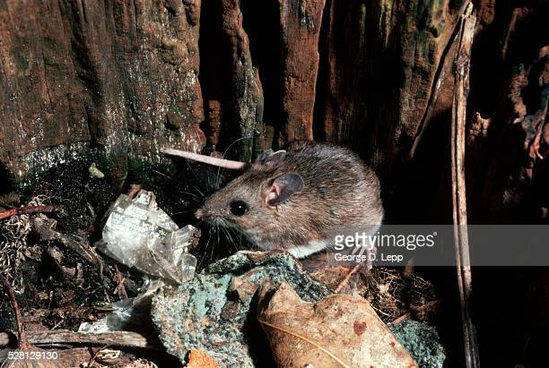 White-Footed Mouse Sniffing Garbage