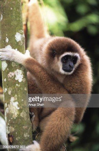 White-handed gibbon (Hylobates lar) on tree trunk, Gunung Leuser National Park, Indonesia