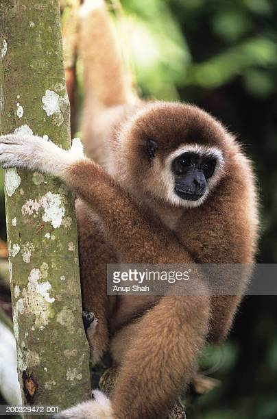 White-handed gibbon (Hylobates lar) on tree trunk, Gunung Leuser National Park, Indonesia