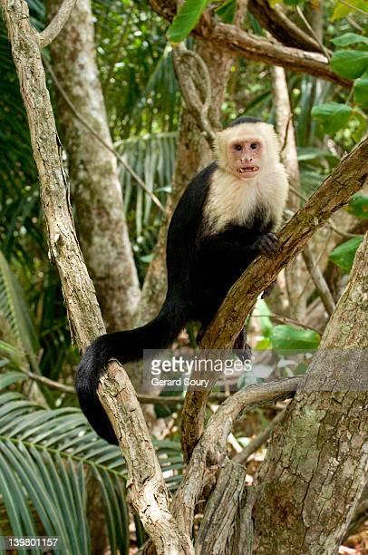 White-headed capuchin (Cebus capucinus), Cebidae, Pacific Coast, Costa Rica