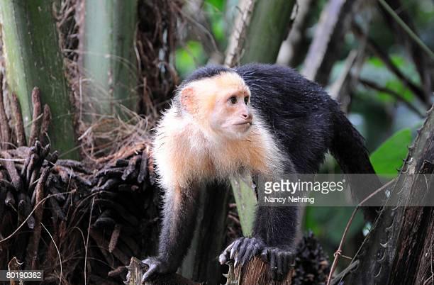 White-headed capuchin, Cebus capucinus. Playa Caletas, Osa Peninsula, Costa Rica.