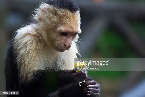 White-headed capuchin with fruit in hand : Stock Photo