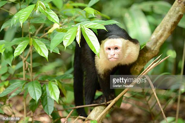 White-headed or White-faced capuchin -Cebus capucinus-, Manuel Antonio National Park, Central Pacific Coast, Costa Rica, South America
