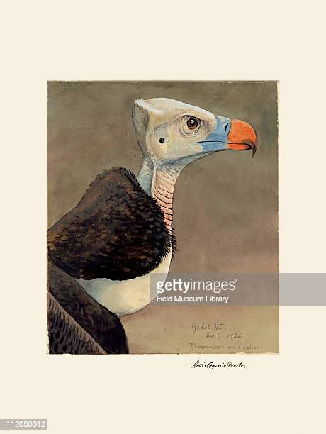 Whiteheaded Vulture Plate 30 a watercolor Louis Agassiz Fuertes 1926
