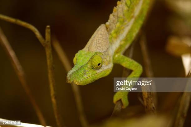 White-lined chameleon