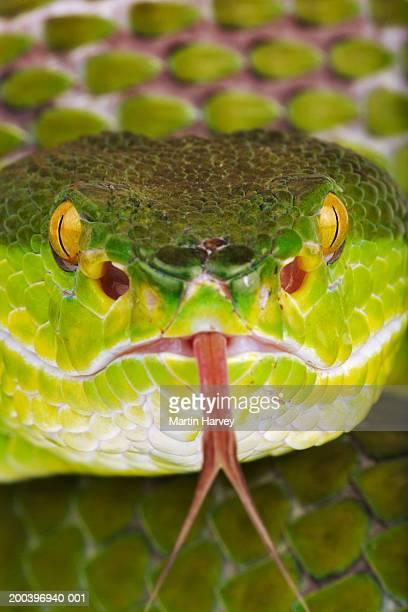White-lipped green pit viper (Trimeresurus albolabris), close-up