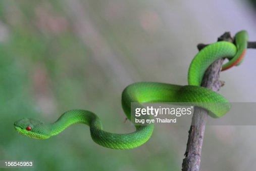 White-lipped Pit-viper