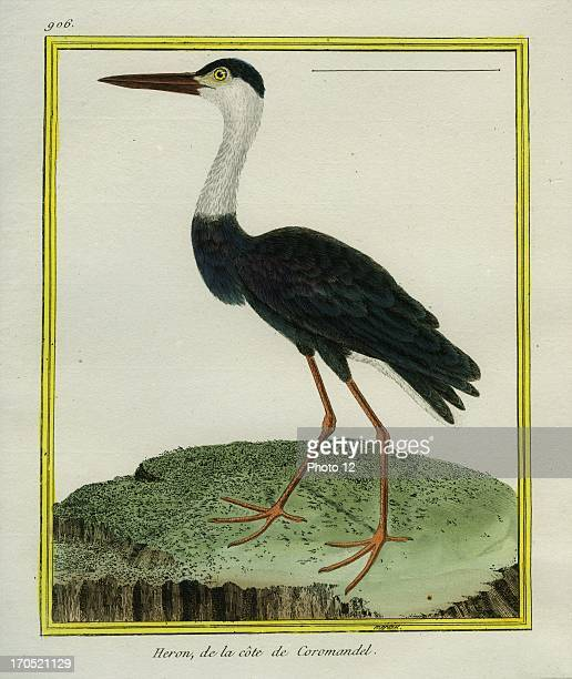 Whitenecked Heron Ardea pacificaWhitenecked HeronGeorgesLouis Leclerc Comte of Buffon 'Natural History of birds fish insects and reptiles' coloured...