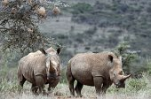 WhiteRhinos are seen on August 7 2014 at the Ol Jogi rhino sanctuary in the Laikipia county approximately 300 kilometres north of the Kenyan capital...