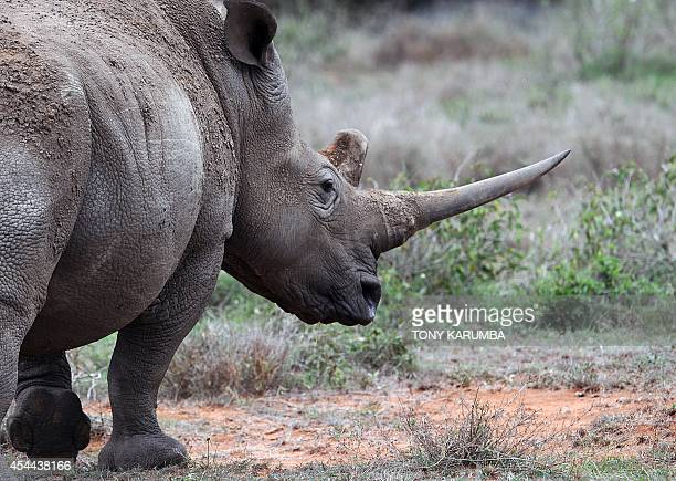 WhiteRhinos is seen on August 7 2014 at the Ol Jogi rhino sanctuary in the Laikipia county approximately 300 kilometres north of the Kenyan capital...