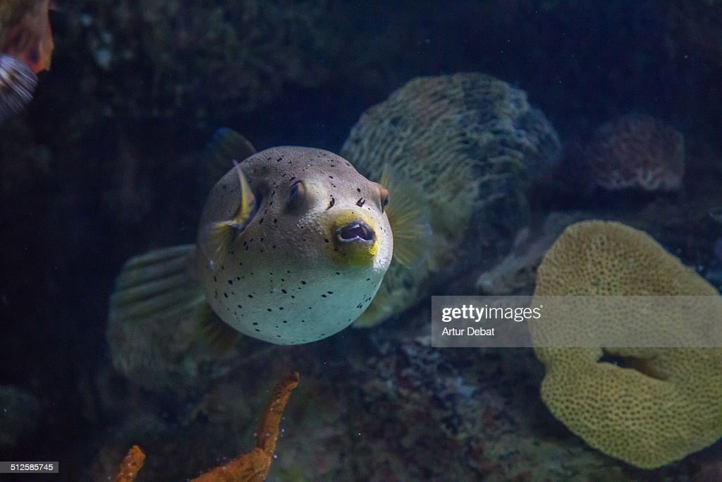 Whitespotted puffer colorful indo pacific fish in underwater scene view in the Barcelona's aquarium Catalonia Europe