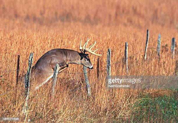 Whitetail Buck Jumping Fence
