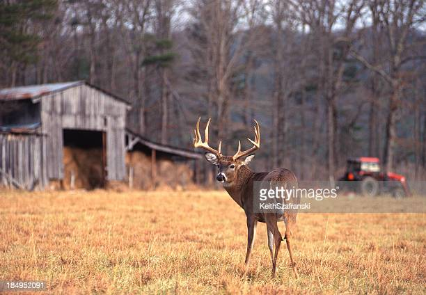 Whitetail Buck on Farm