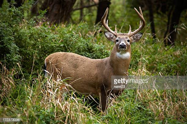 whitetail in discesa